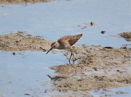 Migratory, Bird, Wild, Wildlife, Natural, Nature, Wet