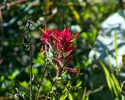 Prairie-fire Wildflower, Indian Paintbrush, Wildflower