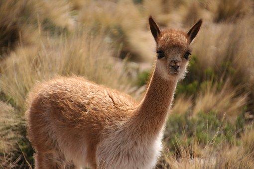 Alpaca, Peru, Animal World, Young Animal, Nature