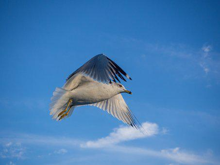 Seagull, Flying, Bird, Sea, Flight, Animal, Nature
