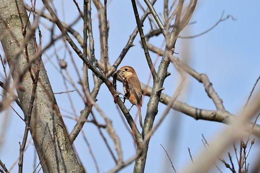 Animal, Forest, Wood, Bird, Wild Birds, Mozu, Shrike