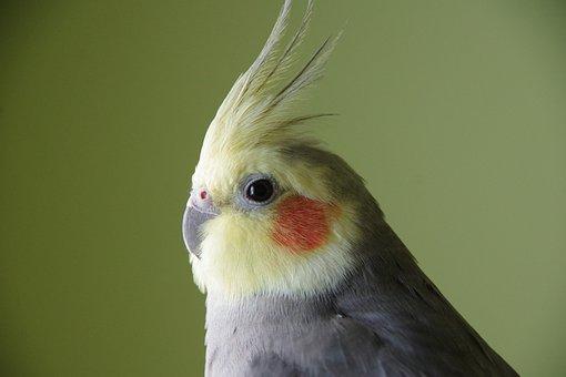 Cockatiel, Bird, Yellow, Avian, Crest, Parrot
