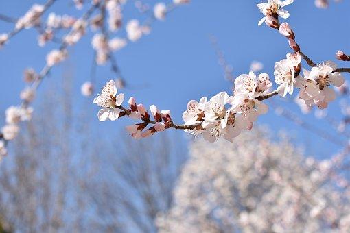 Flower, Blue Sky, White, Peach Blossom, Garden, Campus