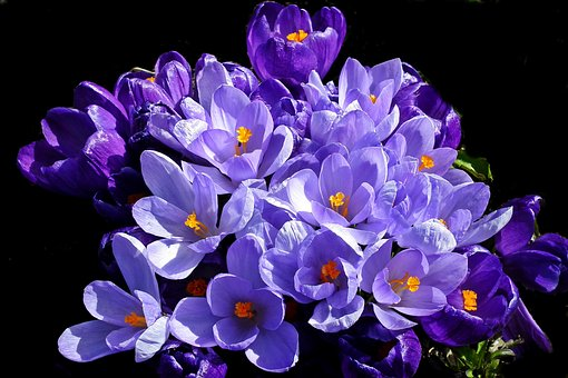 Crocus, Spring, Nature, Blue, Flowers, Garden, Macro