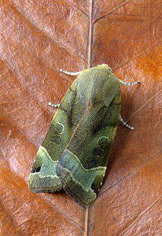Broad-bordered-yellow-underwing, Moth, Wing, Insect