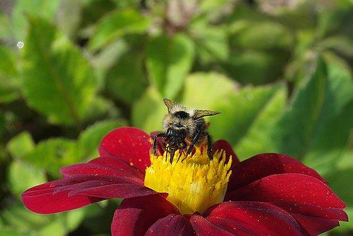 Bumblebee, Pszczołowate, Pollen, Nectar, Pollination