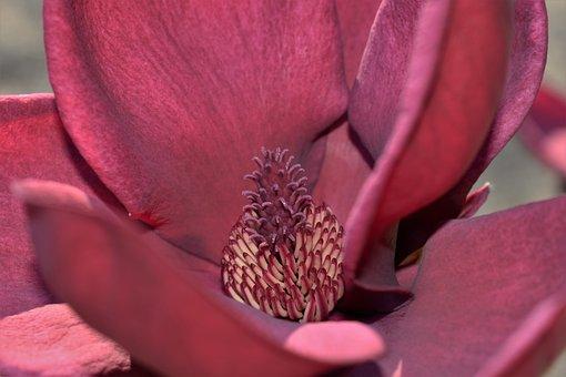 Magnolia, Blossom, Bloom, Flower, Close Up, Spring