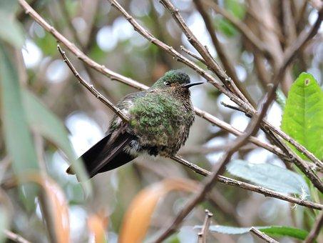 Hummingbird, Wings, Colors, Cold, Nevado Del Ruiz