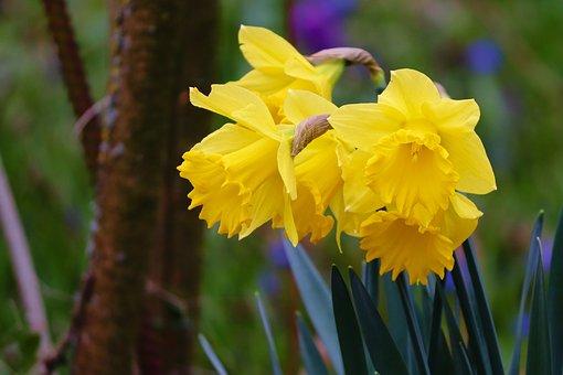 Daffodils, Osterglocken, Spring Flowers, Yellow