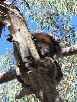 Koala, Lazy, Eucalyptus, Tree, Resting, Relaxing