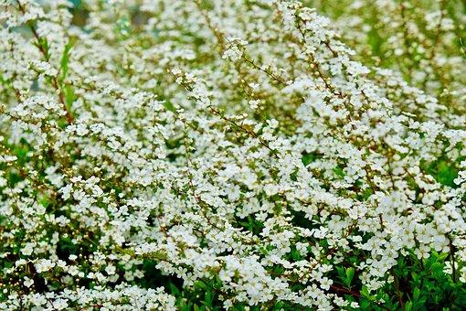 Flower, White Spring, Pure, Full Bloom
