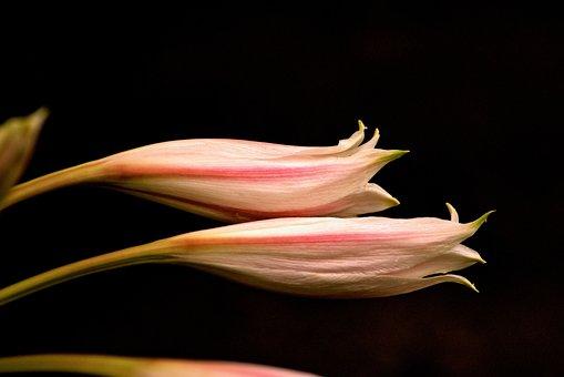 Lily, Flower, Nature, Summer, Garden, White, Bloom