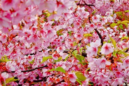 Cherry Blossom, Spring, Flower, Pink, Full Bloom