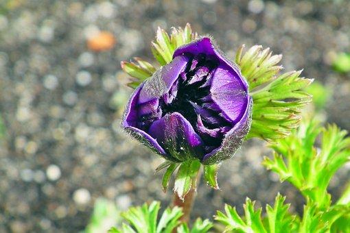 Anemone, Flower, Spring, Garden, Jaskrowate, Blossomed