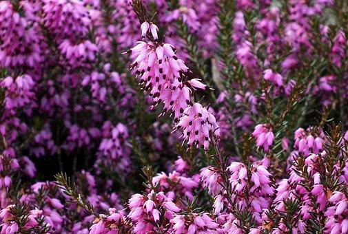 Erica, Flowers, Winter, Nature, Blooming, Garden