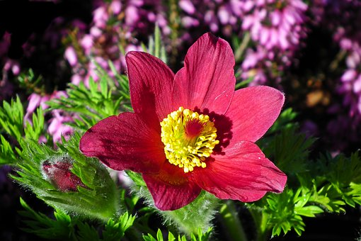 Sasanka, Red, Blossoming, Garden, Closeup, Nature