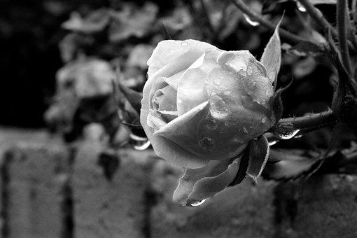 Rose, Flower, Nature, Summer, Garden, Petals, White
