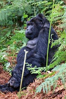 Silverback, Gorilla, Uganda, Highlands, Jungle
