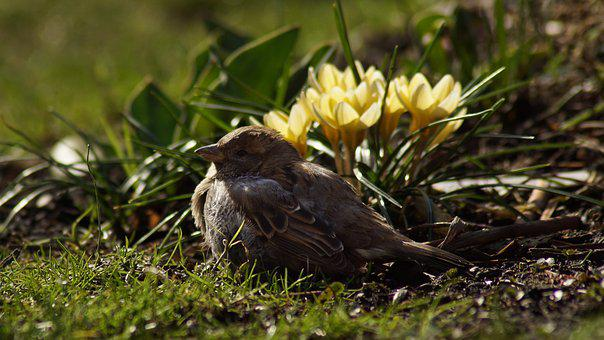 Sparrow, House Sparrow, 2002 Bird Of The Year, Sperling