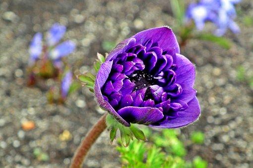 Anemone, Flower, Spring, Garden, Macro, Jaskrowate