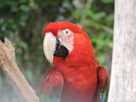 Parrot, Gucamaya, Colombia, Bird Red, Look, Macaw