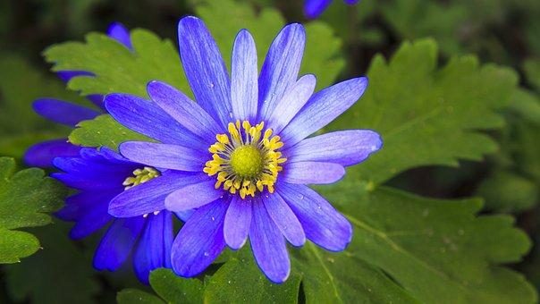 Frühlingsanemone, Spring, Violet, Shades Of Blue, Macro