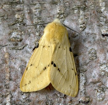 Moth, Buff-ermine, Wings, Pattern, Insect, Nature