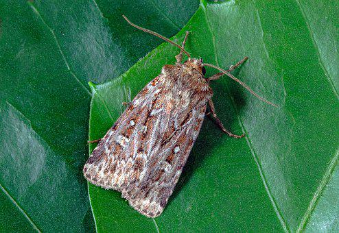 True-lovers-knot, Moth, Wings, Pattern, Insect, Nature