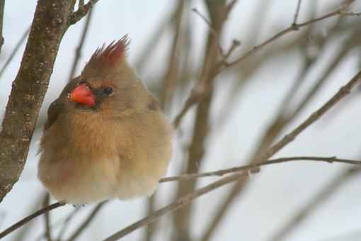 Cardinal, Bird, Nature, Outdoors, Snow, Perched, Avian