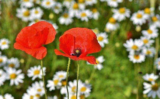 Poppy, Poppy Flower, Mohngewaechs, Klatschmohn, Red