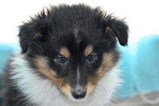 Puppy, Puppy Shetland Sheepdog, Pup, Dog, Soft
