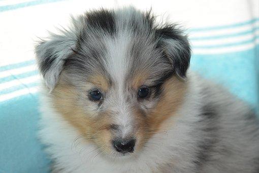 Puppy, Puppy Shetland Sheepdog, Pup