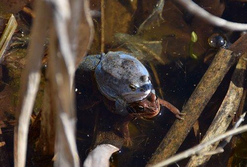 Frogs, Rana Arvalis, Blue Male, Amphibian