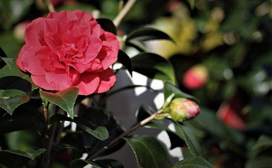 Flower, Rose, Red Rose, Natural, Bloom, Botanical, Stem