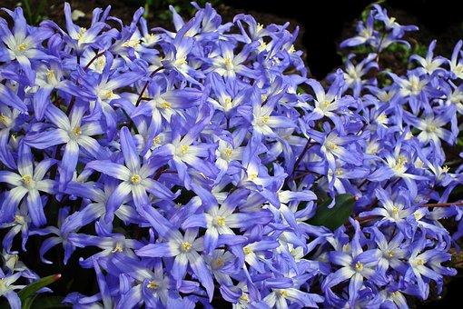 Flowers, Blue, Nature, Spring, Flourishing, Decorative