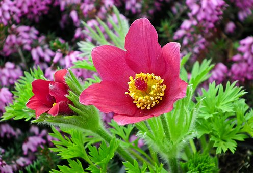 Sasanka, Flowers, Spring, Garden, Macro, Jaskrowate