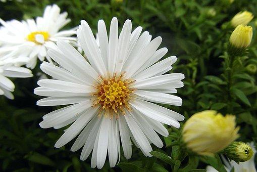 Flower, Marcinek, Aster Bushy, Perennial, Star, White