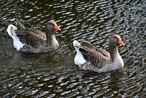 Goose, Water Bird, Animal, Swimming, Water, Pond