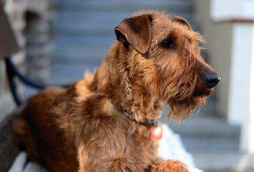 Dog, Irish Terrier, Terrier, Animal, Pet