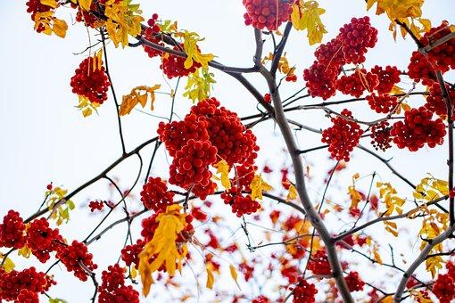 Sky, Berries, Red, Nature, Blue, Tree, Bloom, Branch