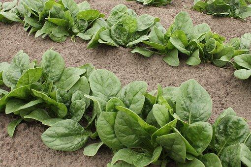 Spinach, Vegetable Patch, Garden, Vegetables, Green