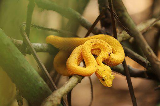 Eyelash Pit Viper, Venomous Snake, Costa Rica, Viper