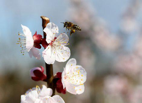 Flowers, Bee, White, Casey, Tree, Spring, Nature