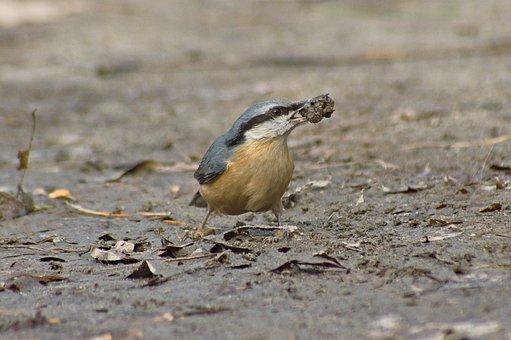 Bird, Nuthatch, Nature, Nice, Wild, Spring