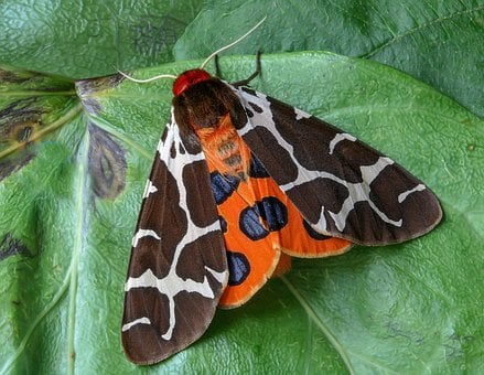 Moth, Garden-tiger, Wings, Insect, Lepidoptera, Summer
