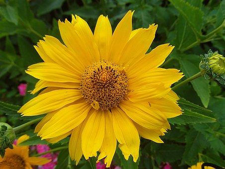 Słoneczniczek Rough, Flower, Złotożółty