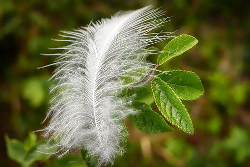 Feather, Slightly, Bird Feather, Airy, White, Ease