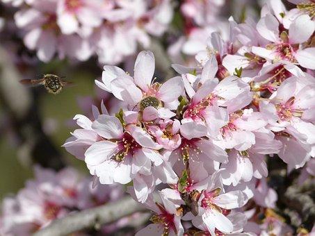 Almond Tree, Flower, Bee, Libar, Flowering
