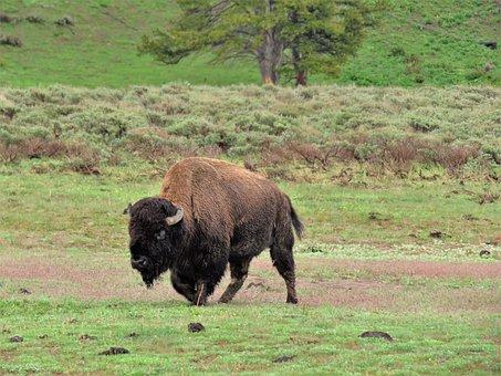 Bison, American Buffalo, Wild, Wyoming, Yellowstone