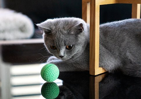 Cat, Cats, Bkh, British Shorthair, Kitten, Ball, Pet